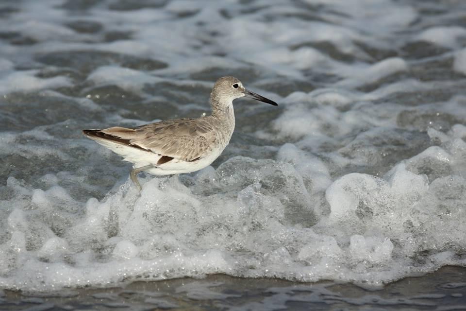 Zwicks Bird